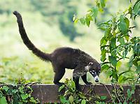 White-nosed Coati, Nasua narica, walks on a fence in Monteverde, Costa Rica