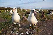 Laysan albatrosses and chicks, Phoebastria immutabilis, in breeding colony, Sand Island, Midway Atoll, Midway National Wildlife Refuge, Papahanaumokuakea Marine National Monument, Northwest Hawaiian Islands, USA ( North Pacific Ocean )