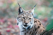 Eurasian lynx (Lynx lynx) at the zoo in Maksimir park, Zagreb, Croatia © Rudolf Abraham