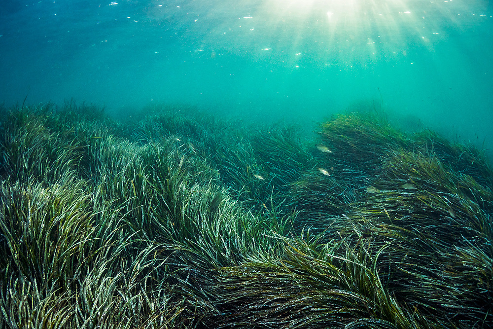 Neptune seagrass, Posidonia oceanica, is likely the oldest living organism on Earth. A single patch of seagrass found in the Mediterranean Sea off Spain is estimated to be between 80,000 and 200,000 years old. Source: https://journals.plos.org/plosone/article?id=10.1371/journal.pone.0030454