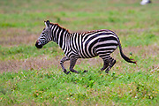 Single juvenile Plains zebra (Equus) at Serengeti National Park, Tanzania, Africa