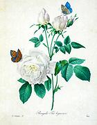 19th-century hand painted Engraving illustration of a Bengal rose (Rosa chinensis var. semperflorens) [as Rosa bengalensis] flower with butterflies , by Pierre-Joseph Redoute. Published in Choix Des Plus Belles Fleurs, Paris (1827). by Redouté, Pierre Joseph, 1759-1840.; Chapuis, Jean Baptiste.; Ernest Panckoucke.; Langois, Dr.; Bessin, R.; Victor, fl. ca. 1820-1850.