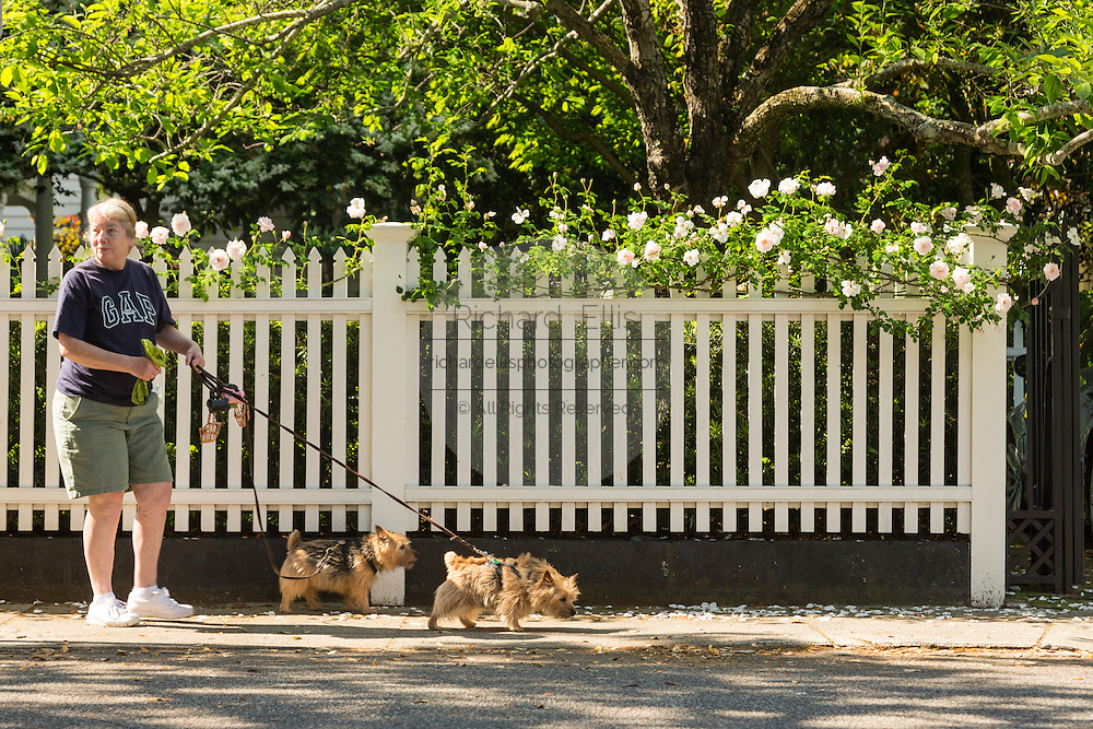 A woman walks her dogs past a white picket fence with climbing roses on Lamboll Street in historic Charleston, SC.
