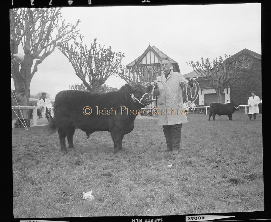 """R.D.S. Bull Show..1971..16.02.1971..02.16.1971..16th February 1971..The Royal Dublin Society (RDS) Bull Show got under way in Dublin today with the judging of Hereford, Friesian and Aberdeen Angus bulls. As well as the judging of bulls there was also a competition for Irish large White and Landrace pigs..Picture shows Mr James W Frost, Enniskeane,Co Cork with his Aberdeen Angus bull """"Variety of Murragh"""" which was placed second in its class."""