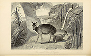 The Small Deer Of Ceylon From the book ' The Oriental annual, or, Scenes in India ' by the Rev. Hobart Caunter Published by Edward Bull, London 1836 engravings from drawings by William Daniell