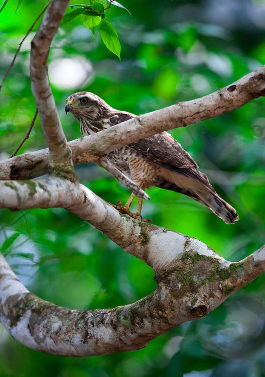 Parauapebas_PA, Brasil...Floresta Nacional de Carajas, Para. Na foto o Gaviao Real...The Carajas National Forest, Para. In the photo the Gaviao ReaL...Foto: JOAO MARCOS ROSA / NITRO
