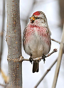 Common Redpoll, (Acanthis flammea),  Fort Collins, Colorado