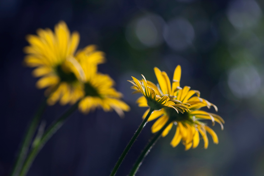 Yellow Daisies in sun light against a dark background