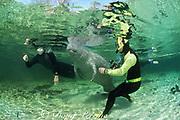 Florida manatee, Trichechus manatus latirostris & swimmers, Crystal River, Florida MR 268