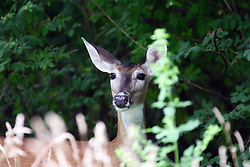 15 Jul 2011: whitetail deer  near or in the Moraine View State Park, LeRoy Illinois (Photo by Alan Look)