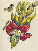 Banana Plant and butterfly from Metamorphosis insectorum Surinamensium (Surinam insects) a hand coloured 18th century Book by Maria Sibylla Merian published in Amsterdam in 1719