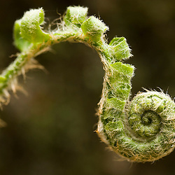 Fiddlehead of a Christmas Fern, Polystichum acrostichoides, in Gulf Brook Ravine.  Pepperell, MA. Spring.