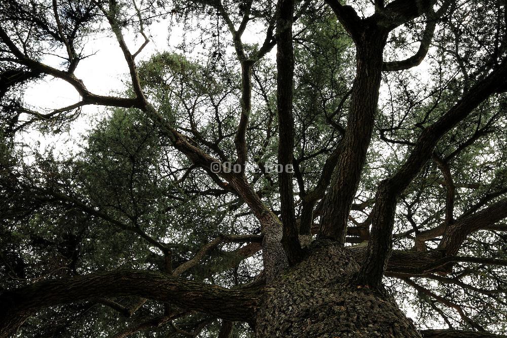 upward view of a large pine tree