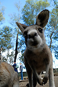 Kangaroo expecting a feed at an animal park. Sydney, Australia
