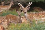 Male and female Fallow Deer (Dama dama) Israel,