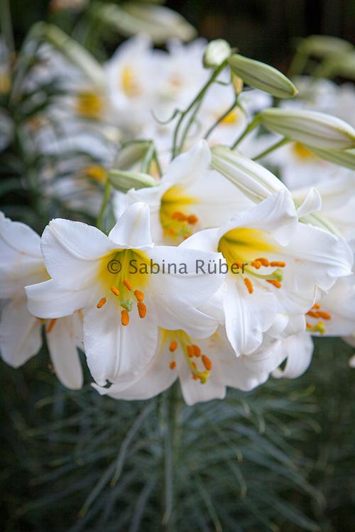 Lilium regale - king's lily