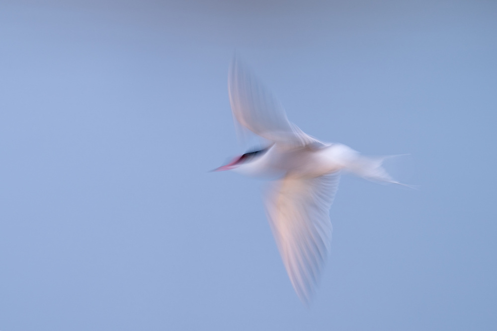 Common tern, Sterna hirundo, Hjalstaviken, Uppland, Sweden