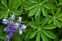 Lupine (Lupinus subalpinus) leaves with water drops at Paradise on Mount Rainier National Park, WA, USA.