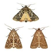 73.109 (2303)<br /> Straw Underwing - Thalpophila matura
