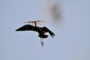 Israel, Coastal plains, Glossy Ibis (Plegadis falcinellus) In flight building a nest