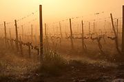 Sangiovese wine grape vineyard in spring, draped in fog at dawn, north of Siena in the Chianti Region of Tuscany, Italy
