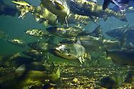 School of Chinook Salmon-Boardman River, Traverse City, MI.<br /> <br /> Christopher Morey/Engbretson Underwater Photo
