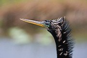 An Anhinga (Anhinga anhinga) along the Anhinga Trail in Everglades National Park, Florida. The bird is also called a darter or snakebird.