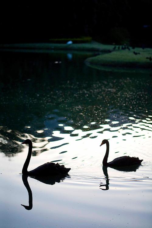 Brumadinho_MG, Brasil...Museu de Arte Contemporanea de Inhotim (CACI). Na foto, dois gansos em uma lagoa...Inhotim Contemporary Art Museum (CACI). In this photo, Two gooses in a lake...Foto: JOAO MARCOS ROSA /  NITRO