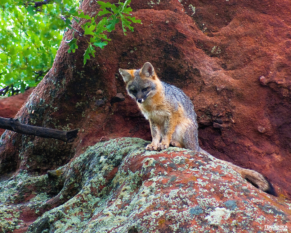 A gray fox on a lichen-covered rock.