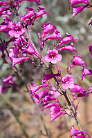 A favorite food source for hummingbirds in the Sonoran Desert, Parry's penstemon (also known as Parry's beardtongue) is a vibrantly pink to fuchsia hardy wildflower found natively in Southern Arizona and Northern Mexico. These tough plants can stand the heat of the desert and the heavy spring rainfalls typical of our southwestern deserts and are only bested by prolonged drought. These were among about a dozen beautiful tall blooming examples found growing in the hills of rural Santa Cruz County in southern Arizona.