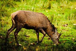 A young red deer stag in Glen Etive, Scotland<br /> <br /> (c) Andrew Wilson | Edinburgh Elite media