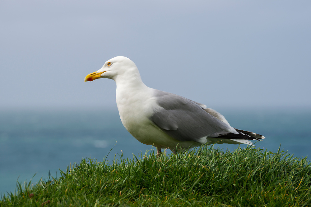 A poised-looking seagull stands on a grassy ledge high above the Atlantic Ocean in Étretat, France. Étretat is in the Seine-Maritime department in the Haute-Normandie region in north-western France.