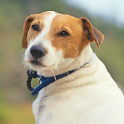 Portrait of an old brown and white dog