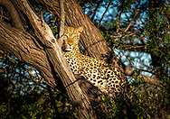 A leopard in Namibia