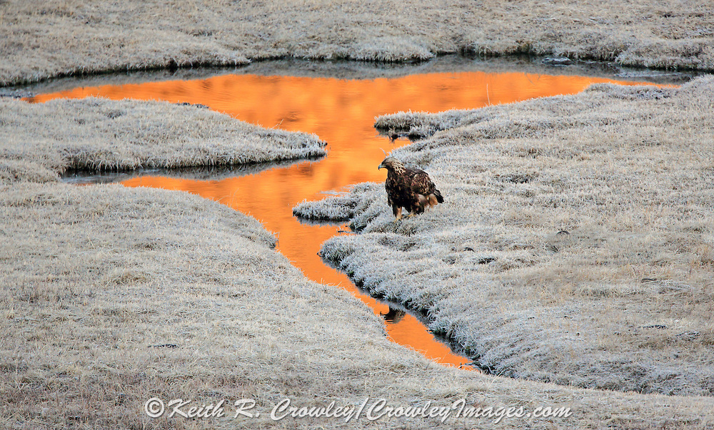 Golden Eagle Perched Next to Small Pond at Daybreak