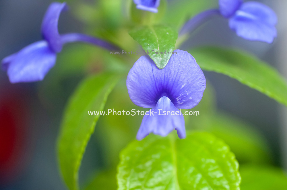 Flowering Brazilian Snapdragon or Amazon Blue (Otacanthus azureus) Photographed in May
