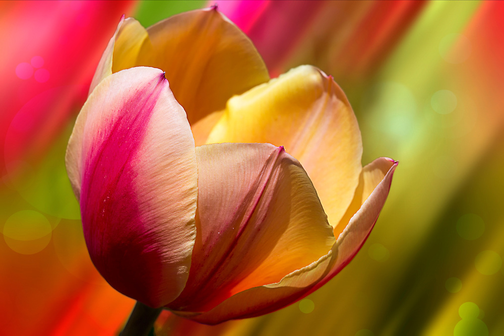 A deliciously vibrant tulip with a rainbow of colors and a hint of bokeh behind