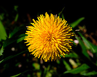 Dandelion Flower. Image taken with a Fuji X-H1 camera and 80 mm f/2.8 macro lens (ISO 200, 80 mm, f/16, 1/320 sec).