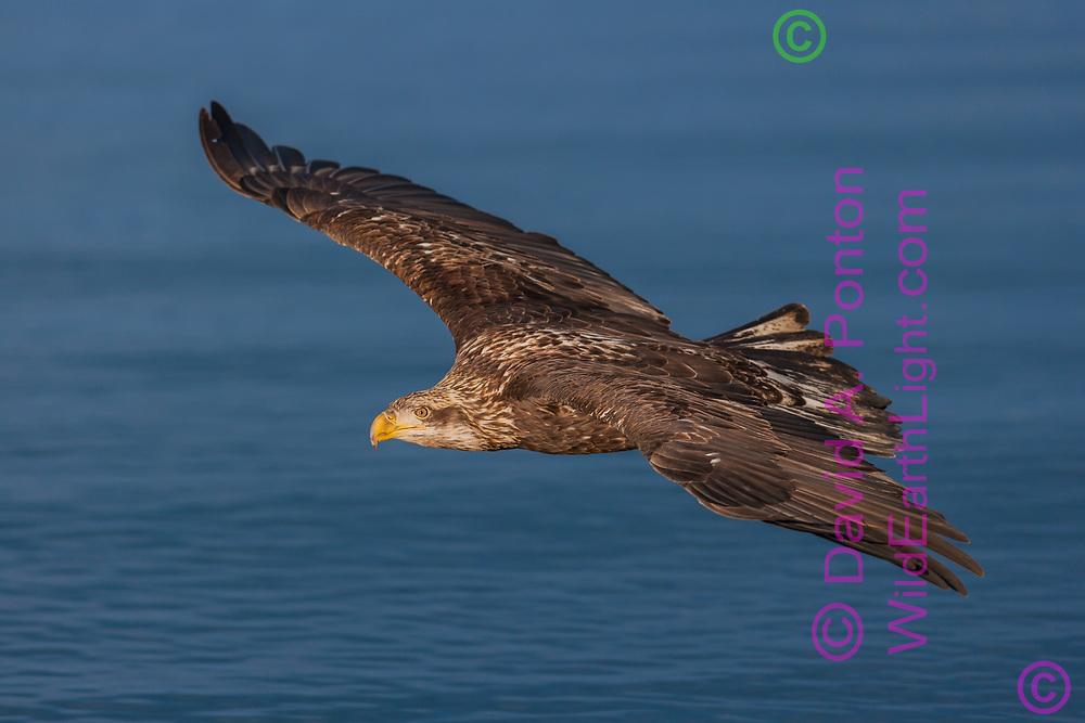 Juvenile bald eagle in flight over ocean, Alaska, © David A. Ponton