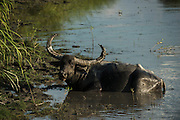 Wild Asian buffalo (Bubalus arnee)<br /> Wild water buffalo<br /> Asiatic buffalo<br /> Kaziranga National Park<br /> Assam<br /> North East India<br /> UNESCO World Heritage Site<br /> ENDANGERED