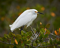 Snowy Egret on a Mangrove tree. Black Point Wildlife Drive, Merritt Island National Wildlife Refuge. Image taken with a Nikon Df camera and 300 mm f/4 lens (ISO 160, 300 mm, f/4, 1/1250 sec).
