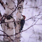 Northern Michigan Woodpecker searching for a meal.
