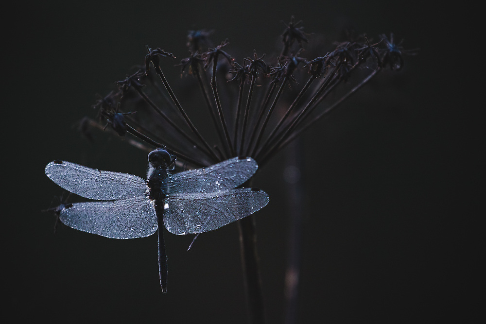 Remains of Sympetrum genus dragonfly on withered Wild Angelica before nightfall, Vidzeme, Latvia Ⓒ Davis Ulands | davisulands.com