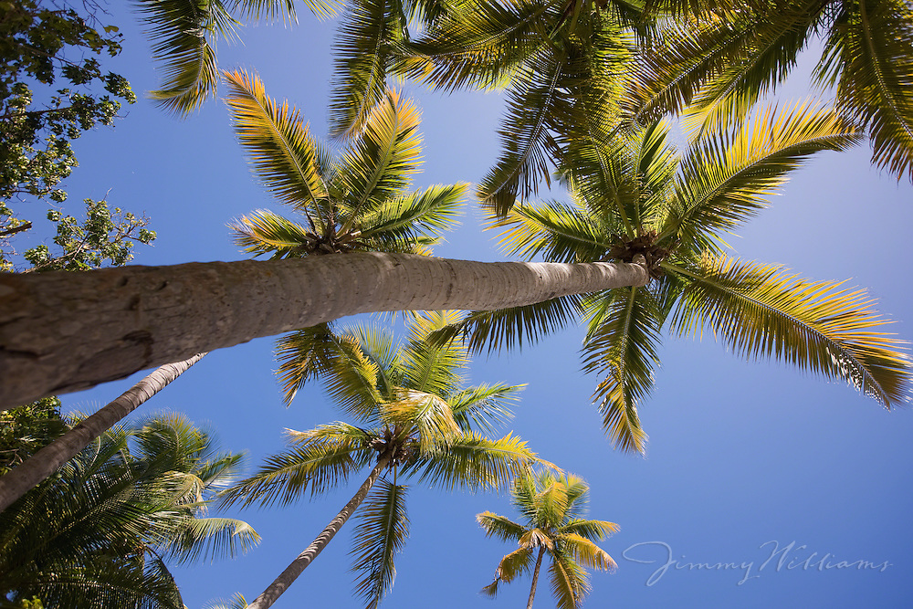 Looking towards the sky from the bottom of a patch of palm trees in the Caribbean