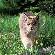 Canada Lynx, (Lynx canadensis) Adult. Spring. Montana.  Captive Animal.