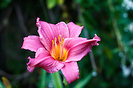 "The Daylily ""Summer Wine"" flower in a British Columbia, Canada garden."