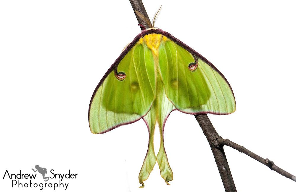 Luna moth (Actias luna) - Oxford, Mississippi.
