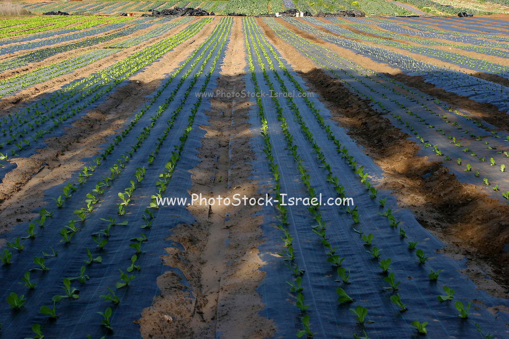Vegetable plants are being grown in a protective environment of plastic sheets. The plastic sheet reduces water evaporation from the soil