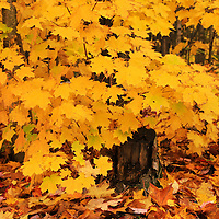 """""""Peak Foliage Burst""""<br /> <br /> A wet woodland filled with bursts of golden yellow Maple trees!!<br /> <br /> Fall Foliage by Rachel Cohen"""