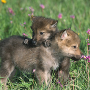 Gray wolf (Canis lupus) pups playing in a field of shooting star flowers, Montana. Captive Animal